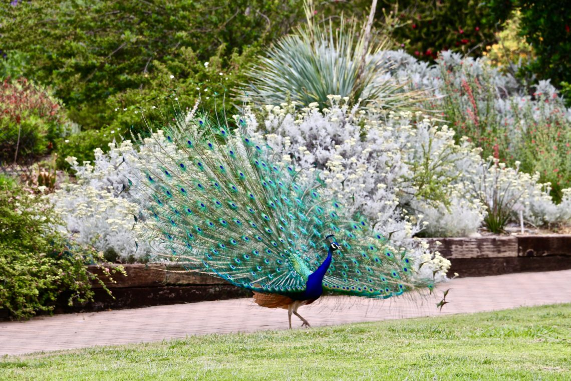Chasing peacocks in Los Angeles - Roads and Destination, roadsanddestinations.com