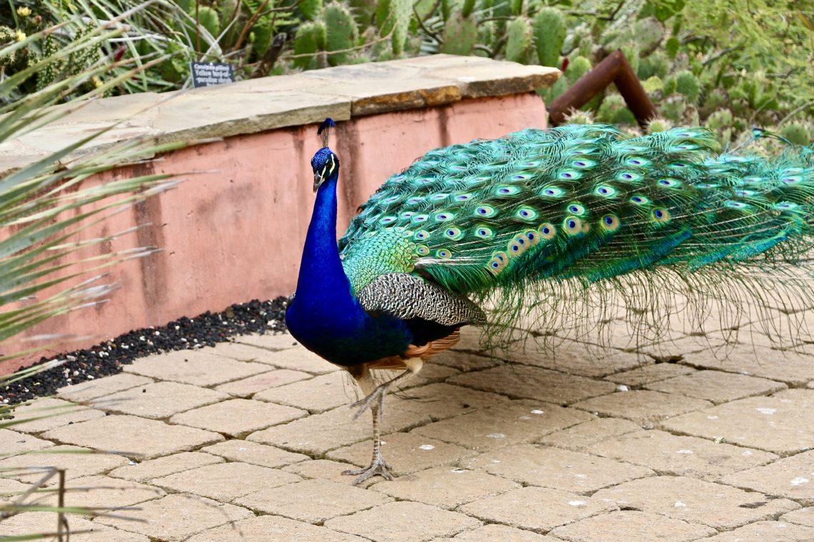 Peacocks - Roads and Destination, roadsanddestinations.com