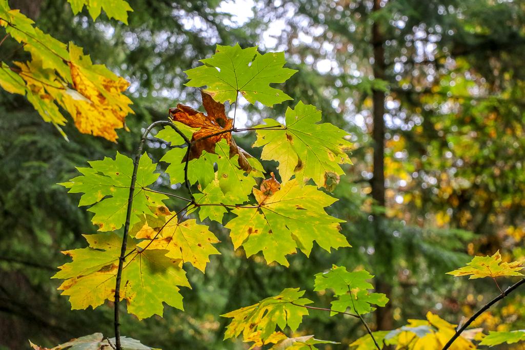 Fall Colors at Capilano Suspension Bridge Park