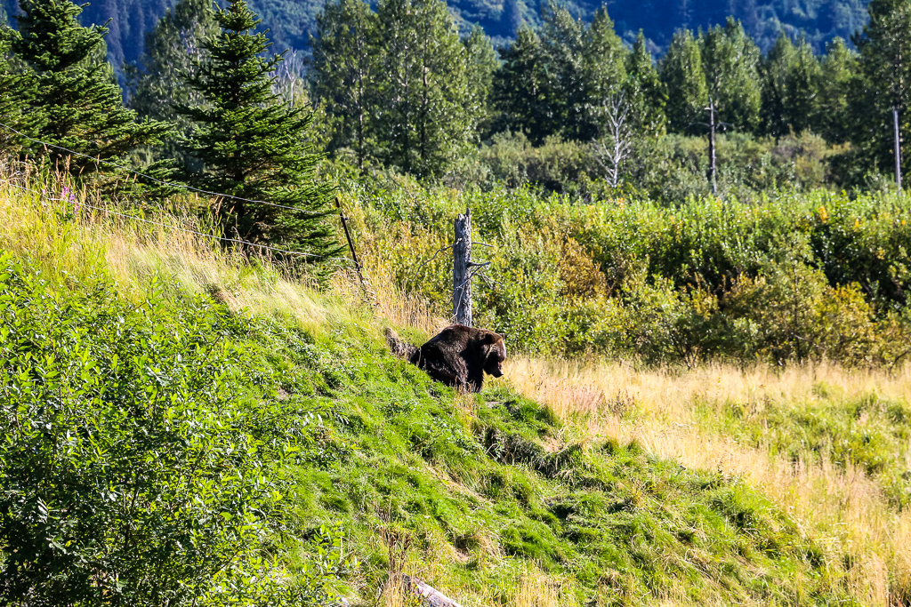 Brown bear at the Alaska Wildlife Conservation Center