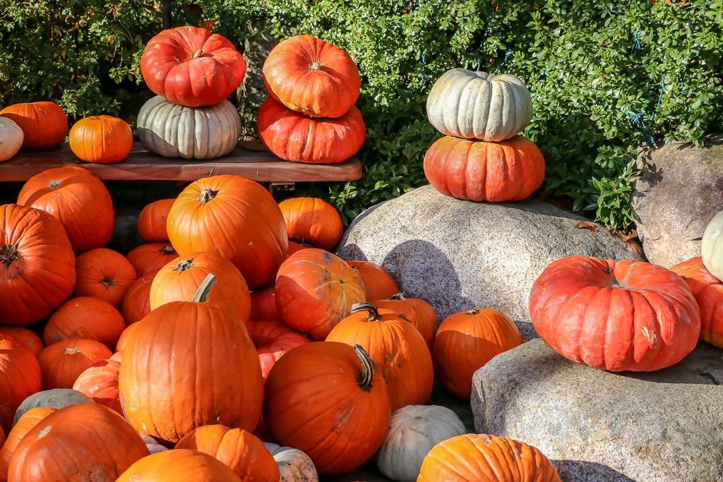 Pumpkins with their bright colors are one of the main parts of Thanksgiving