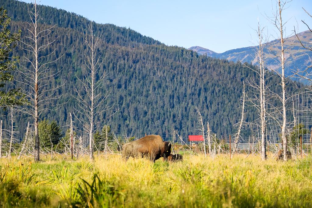 Wood bisons at the Alaska Wildlife Conservation Center