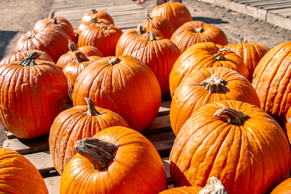 The prettiest pumpkin patches in Los Angeles_ roadsanddestinations.com