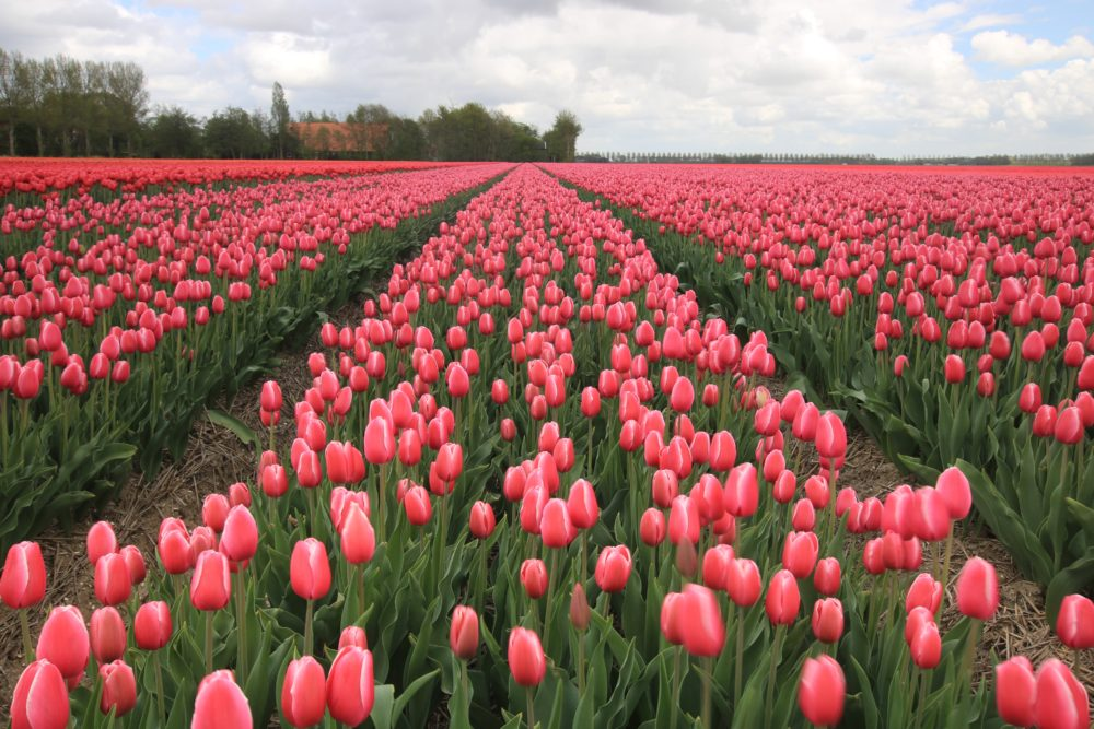 Top Day Trips from Amsterdam to Immerse into Dutch Culture- Roads and Destinations, roadsanddestinations.com