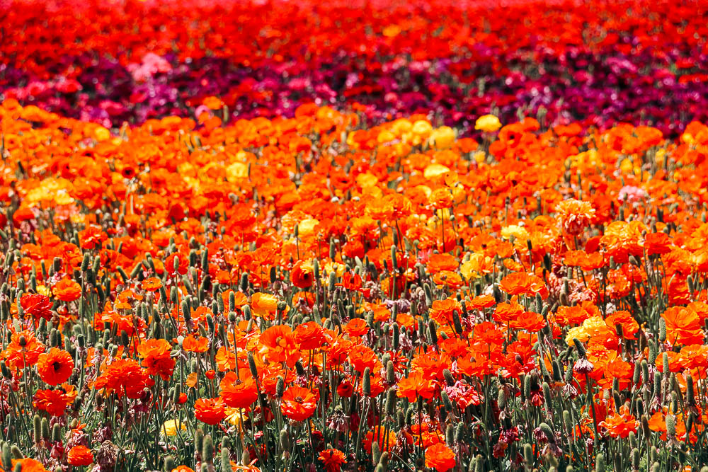 Flower Fields in California - Roads and Destinations