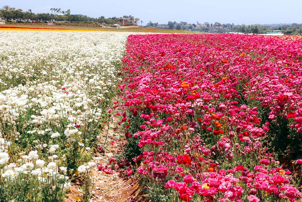 Visit Flower Fields - Roads and Destinations
