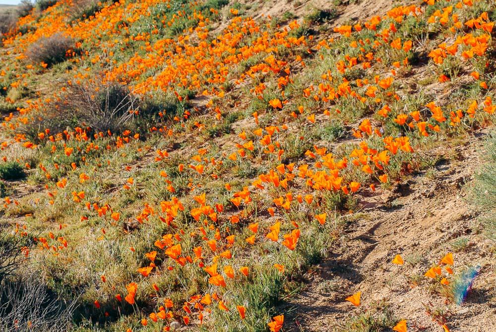 California super bloom -- Roads and Destinations