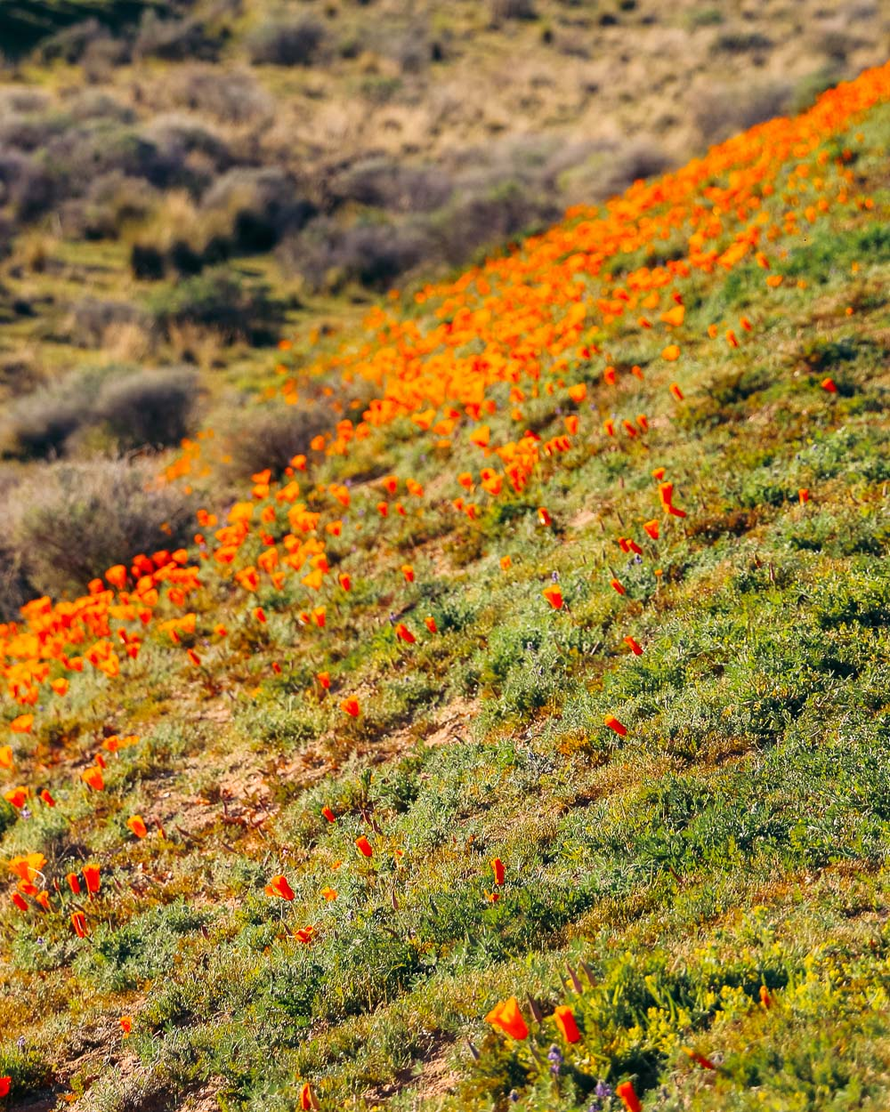 Wildflowers near Los Angeles -- Roads and Destinations