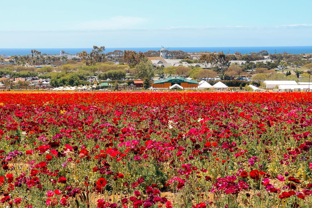 Bloom in San Diego County - Roads and Destinations