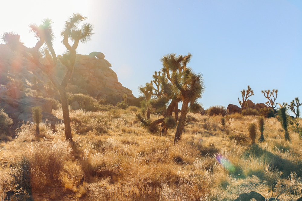 Joshua Tree Facts - Roads and Destinations