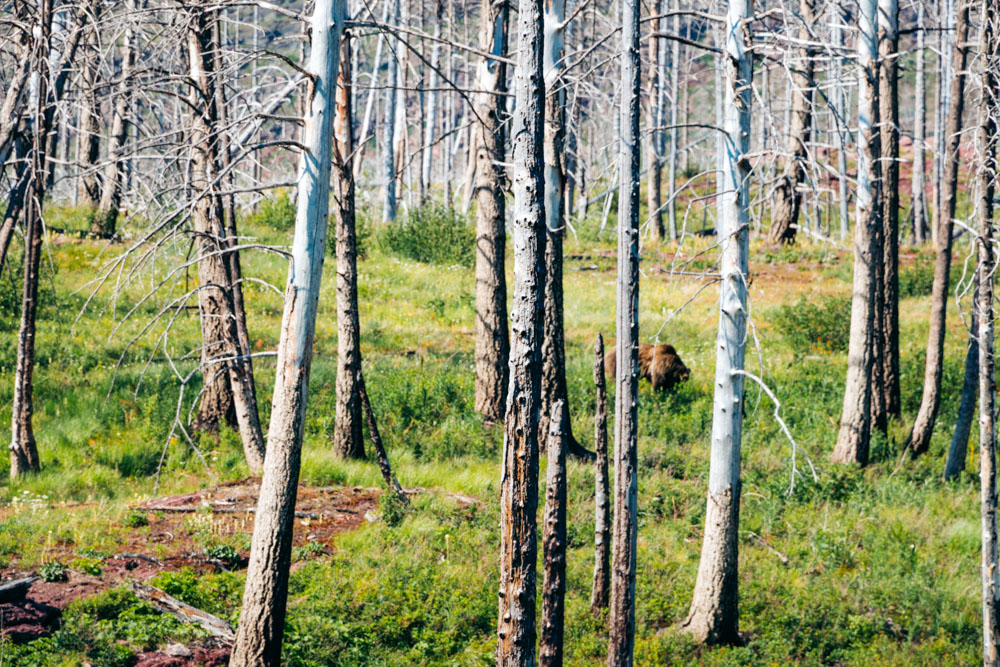 Places to see and photograph wildlife in Glacier -- Roads and Destinations.