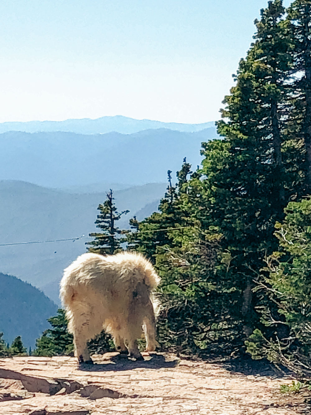 Mountain goat at Logan Pass -- Roads and Destinations.